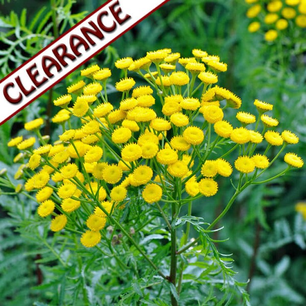 Blue Tansy Essential Oil CLEARANCE