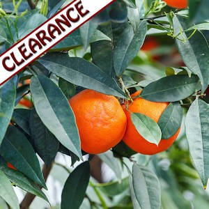 Petitgrain Mandarin Essential Oil CLEARANCE