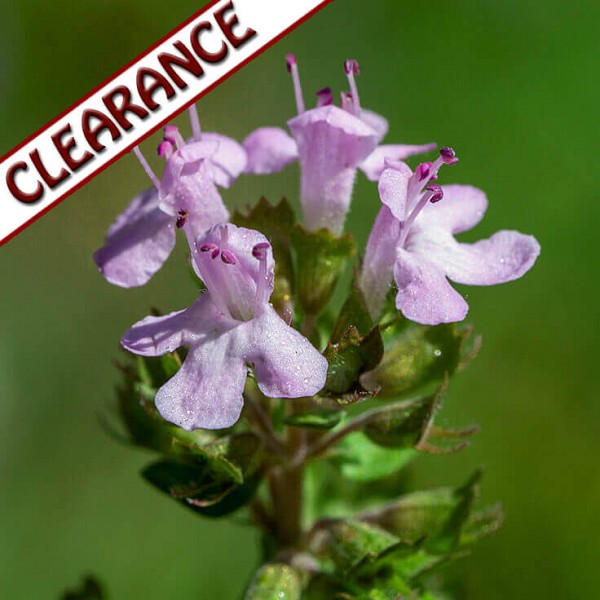 Thyme ct linalool Essential Oil CLEARANCE