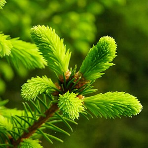 Douglas Fir Essential Oil New Zealand