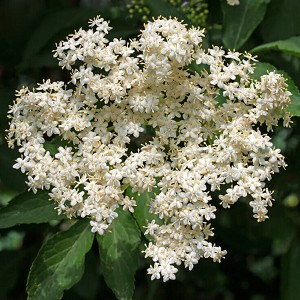 Elderflower Hydrosol, Organic