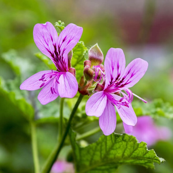 Geranium Egypt Organic Essential Oil