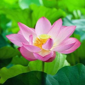 Lotus Pink Absolute