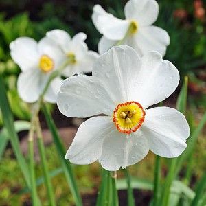 Narcissus Absolute Hexane Free