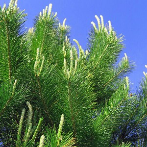 Scotch Pine Essential Oil, 1 mL Sample