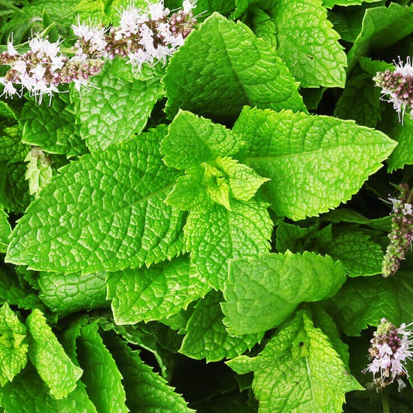 Spearmint Essential Oil, 1 mL Sample
