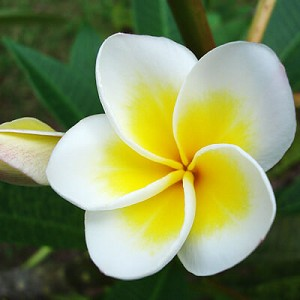 Frangipani Absolute Hexane Free
