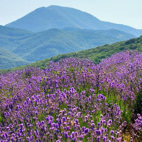 Lavender High Altitude Essential Oil (Bulgaria)