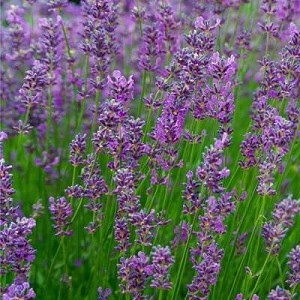 Lavender Spike Essential Oil