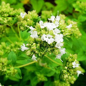 Marjoram Spanish Essential Oil, 1 mL Sample