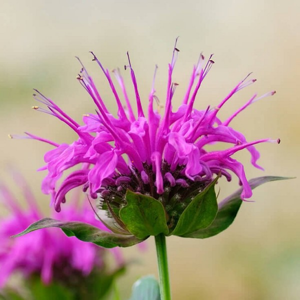 Monarda Essential Oil