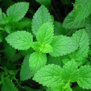 Peppermint Organic Essential Oil, 1 mL Sample